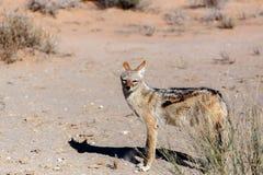 Jackal col dorso nero (mesomelas del Canis) Fotografia Stock