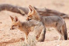 Jackal com o dorso negro alerta (mesomelas do Canis) Fotografia de Stock Royalty Free