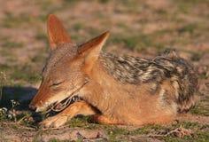 Jackal com o dorso negro (mesomelas do Canis) Fotos de Stock