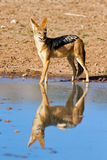 Jackal drinking water Royalty Free Stock Photography