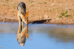 Jackal drinking water Stock Image