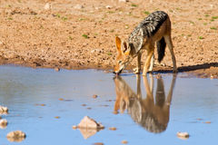 Jackal drinking water Royalty Free Stock Photo