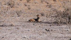 Jackal. In the Etosha National Park, Namibia Royalty Free Stock Photo