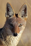 Jackal eye-to-eye Royalty Free Stock Photography