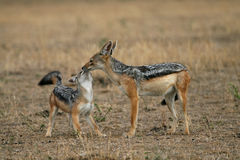 Jackal female and pup. Black-backed jackal Canis mesomelas Royalty Free Stock Images