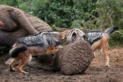 Jackal Fight Stock Photos