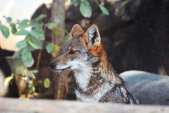 Jackal fox. Red fox in the zoo Royalty Free Stock Photo