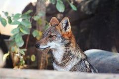 Jackal fox Royalty Free Stock Photo