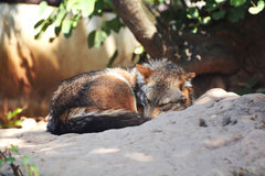 Jackal fox sleep. Red fox sleep in the zoo Royalty Free Stock Image