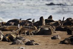 Jackal in fur-seal colony, Skeleton Coast Royalty Free Stock Images