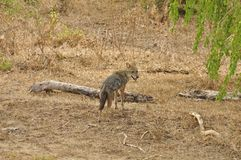 Jackal, Golden (Canis aureus) Stock Photography