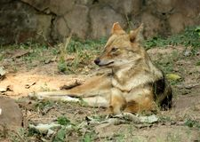 The Jackal Royalty Free Stock Images