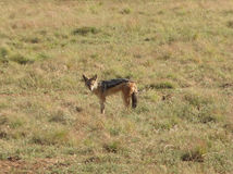 Jackal. A jackal on grassy ground in Southafrica Royalty Free Stock Photography