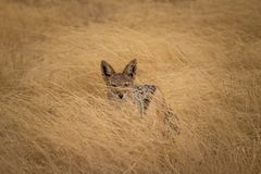 A jackal hiding in the grass royalty free stock images