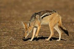 Jackal, Kalahari desert, South Africa Stock Image