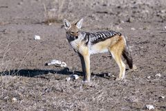 Jackal in the Kgalagadi Transfrontier Park. Stock Photo