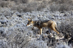 Jackal in the Kgalagadi Transfrontier Park Royalty Free Stock Photo