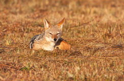 Jackal lying in the grass Royalty Free Stock Photography