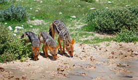 Jackal mother and cubs having a drink Stock Photos