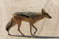 Jackal, namibia Royalty Free Stock Images
