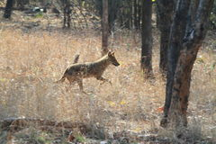 Jackal in the National Park Bandhavgarh Royalty Free Stock Image