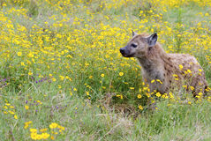 Jackal in Ngorongoro crater. A brown spotted jackal is seen in the grass with numerous yellow flowers Royalty Free Stock Images