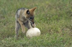 Jackal and ostrich egg. A baby black backed jackal plays with an Ostrich egg royalty free stock photo