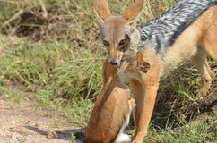 Jackal preying  young impala gazzelle Royalty Free Stock Photography