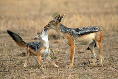 Jackal and Pup. Black-backed Jackal Canis mesomelas - mother and pup Stock Photos