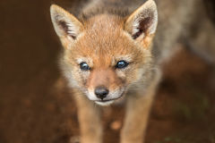 Jackal pup peering out the den stock images