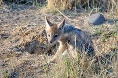 Jackal puppy at its den. Jackal puppy entering its den at dawn in Pilanesberg National Park, South Africa Stock Photo
