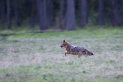 Jackal running in forest Stock Photo