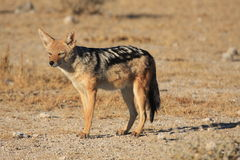 A Jackal Royalty Free Stock Photo
