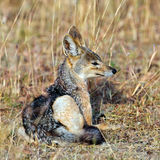 Jackal sitting in the grass Royalty Free Stock Photography