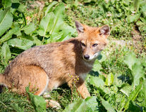 Jackal sitting in the grass Royalty Free Stock Photos