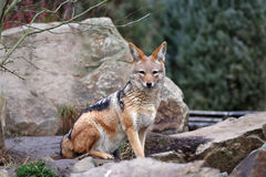 Jackal. A jackal sitting on a rock Royalty Free Stock Photography