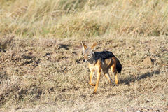 A Jackal Royalty Free Stock Photography