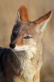 Jackal smelling scented straw Royalty Free Stock Photography