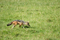 Jackal sniffing in grass field Royalty Free Stock Photography