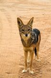 Jackal in the Sossusvlei desert, Namibia. A jackal in the Sossusvlei desert, Namibia royalty free stock photography