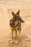 Jackal in the Sossusvlei desert, Namibia. A jackal in the  Sossusvlei desert, Namibia Stock Images