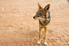 Jackal in the Sossusvlei desert, Namibia Royalty Free Stock Image