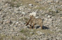 Jackal with spotted deer kill in his mouth stock photos