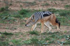 Jackal Stalk Stock Photo