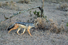 Jackal. Taken in Kenya, Africa, August 2014, Masai Mara,on a Game Drive Stock Photo