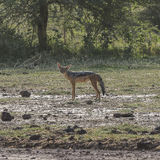 Jackal in Tanzania Royalty Free Stock Images