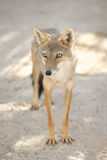 Jackal in Tozeur Zoo Royalty Free Stock Photo