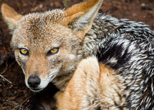 Jackal up close and personal Royalty Free Stock Images
