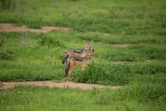Jackal wild dangerous mammal africa savannah Kenya Royalty Free Stock Images