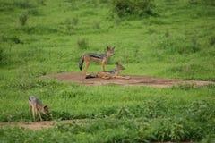 Jackal wild dangerous mammal africa savannah Kenya Stock Images